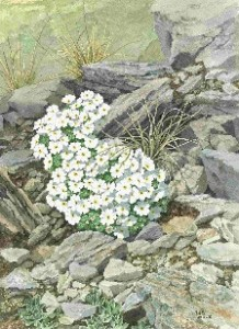 alpine garden plants in rockery garden