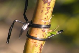 position of bud tied