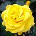 Rose Types – Rambling Rose, Climbing Rose, Miniature Rose etc