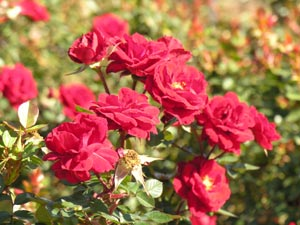 how to grow roses