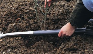 planting shrubs and trees - how to plant shrubs and trees