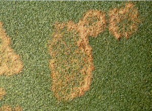 Identifying and controlling turfgrass diseases for Fungicida per prato