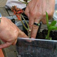 propagating trees and shrubs - cuttings