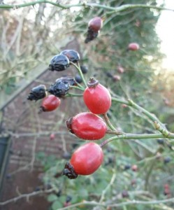 rose seeds in the rose hip