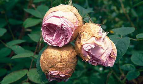 Rose Pests And Diseases Top Tips For Healthy Roses