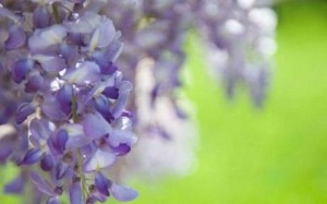 pruning trees and shrubs - wisteria
