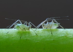 aphids potato pests and diseases