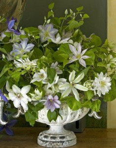 clematis as cut flowers