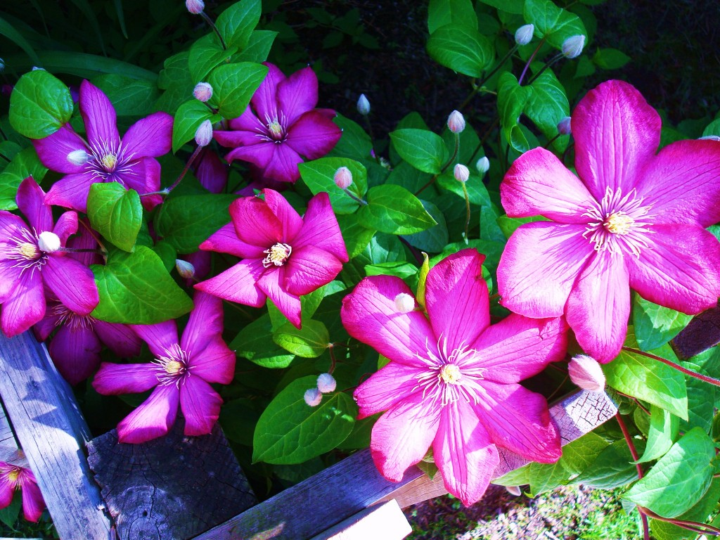 Clematis Plant and Clematis Flower