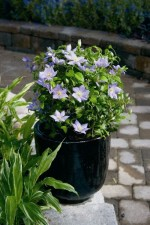 Clematis Care: Growing Clematis in Garden Pots and Planters