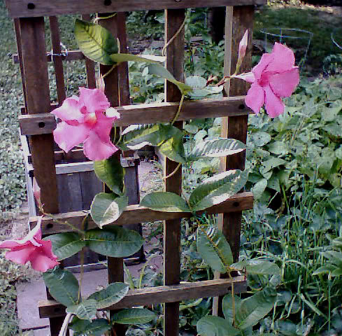 Climber plants clematis vine clematis plant clematis plants between these two extremes of climbing plants is the clematis plant or clematis vine much loved and yet so often misunderstood mightylinksfo