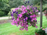 Hanging Flower Baskets and Container Gardening