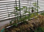 Expert Tips for Growing Garden Tomatoes – Straw Bale Culture