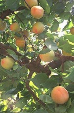 Growing Apricots – Expert Advice