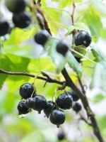 How to Grow Blackcurrant Plants – Blackcurrant Bush