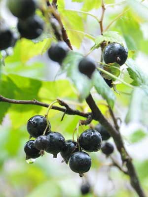 growing blackcurrants