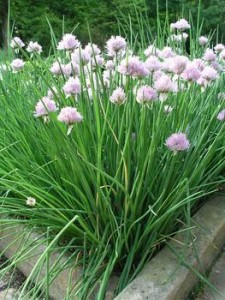 growing herbs at home - chives