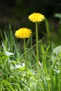growing herbs at home - dandelion