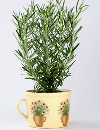 growing herbs at home - rosemary