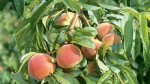 How to Grow Stone Fruit Trees