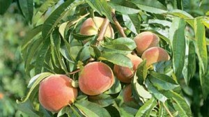 growing stone fruit trees