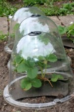Expert Tips on How to Grow Strawberries Under Cloches