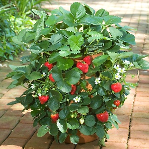Growing strawberry plant how to grow strawberry plants growing strawberry plants amongst them could be found white cream mottled and red berries and some with greenish pink fruits the disadvantage of these mightylinksfo