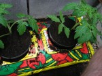 Expert Tips for Growing Tomatoes in Grow-Bags