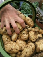 How to Grow Potatoes: Growing Potatoes, Planting Potatoes & Storing Potatoes