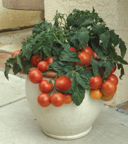 Growing Outdoor Tomatoes