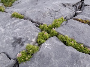 plants and limestone pavement