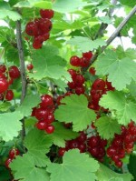 Growing Red Currant Bushes and White Currants