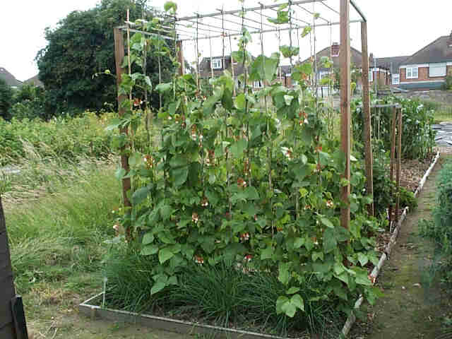 4e0419e23 Manure of some sort is, I think, a must for producing good runner beans.  When planning the vegetable garden and growing green beans, I try to  arrange the ...