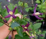 Soils for Successful Clematis Growing