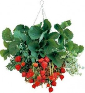 growing strawberry plant