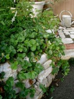 Growing Strawberry Plants – How to Grow Strawberry Wall
