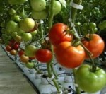 Expert Tips for Growing Tomatos Outdoors