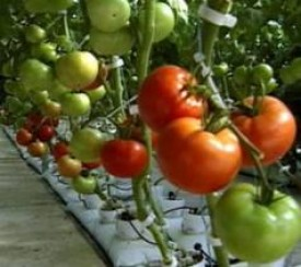 growing tomatos