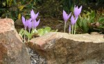 Planting Flower Bulbs in the Rock Garden and Beds and Borders