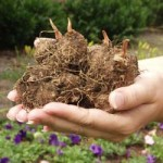 Bulbous Plants – Flowering Bulbs, Corms and Tubers