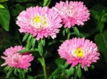 Growing Chrysanthemums – Summer Care of Chrysanthemum Flowers