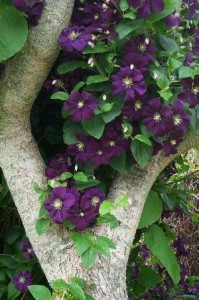 clematis etoile violette growing through a tree