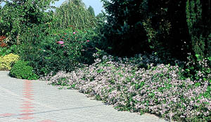 clematis ground cover