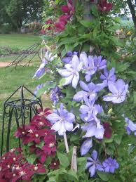 clematis supports