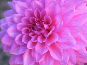 dahlia flowers for exhibition