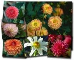 Types of Dahlia Flowers – Dahlia Varieties