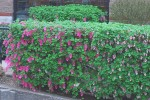 Hedging Plants, Hedges, Garden Screens for Garden Boundaries
