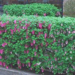 flowering hedging plants