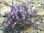 Planting a Scree Garden – Suitable Scree Garden Plants