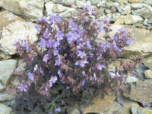 geranium in the scree garden